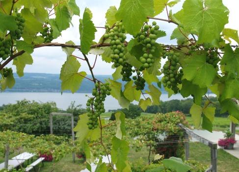 Hogyan termessünk trombita szőlőt