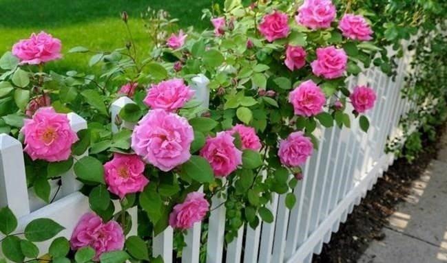 Hogyan kell metszeni a rózsákat